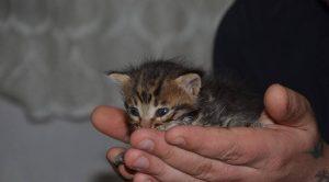15 gunluk kedi yavrusu3 300x166 - 15 Günlük Kedi Yavrusu Nasıl Beslenir? Yavru Kedi Bakımı