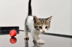 2473354 d21fb007426dc21527c67f1a396fd59a 300x198 - 1 Aylık Kedi Ne Yer? 1 Aylık Yavru Kedi Bakımı – Beslenmesi ve Eğitimi